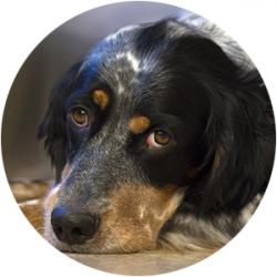 Zažívací problémy u psa a játra